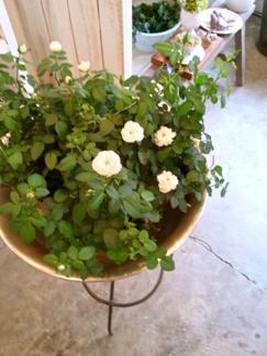 今週の鉢物さん_b0209477_1735165.jpg