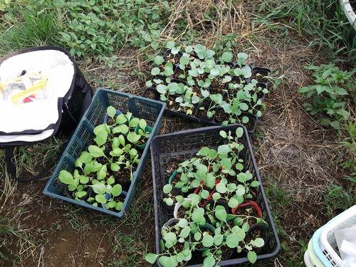 雨で白菜、ブロッコリーは...うまく育っています。_b0137932_8361266.jpg