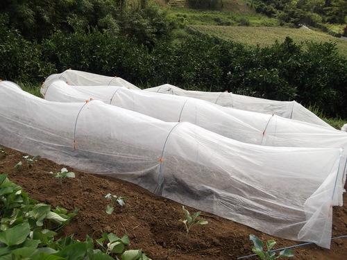 雨で白菜、ブロッコリーは...うまく育っています。_b0137932_8394827.jpg