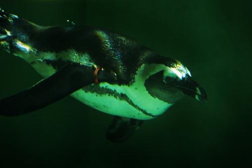 ケープペンギン:African Penguin_b0249597_619107.jpg