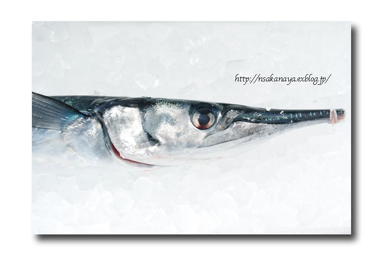 オキザヨリ/沖細魚:沖針魚 ............. ダツの仲間っす!_d0069838_12195628.jpg