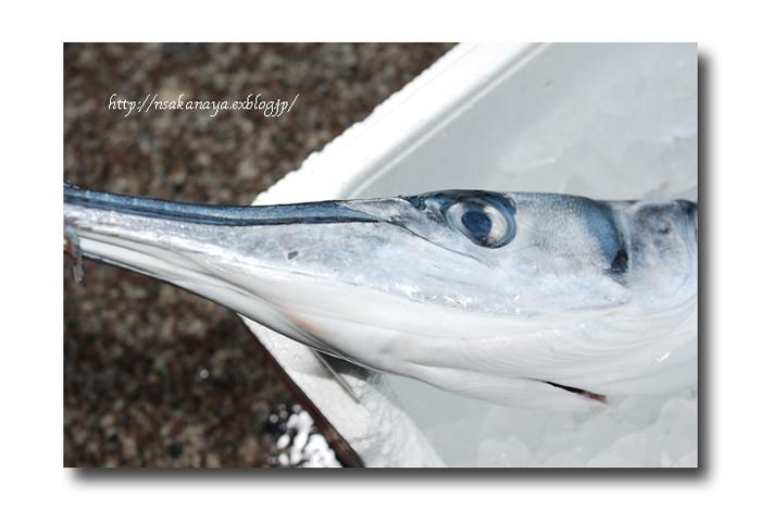 オキザヨリ/沖細魚:沖針魚 ............. ダツの仲間っす!_d0069838_12215361.jpg