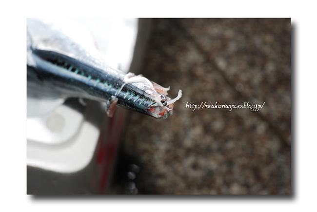 オキザヨリ/沖細魚:沖針魚 ............. ダツの仲間っす!_d0069838_12343123.jpg