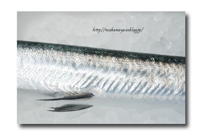 オキザヨリ/沖細魚:沖針魚 ............. ダツの仲間っす!_d0069838_12352595.jpg