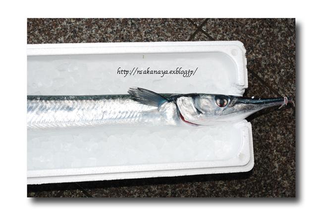 オキザヨリ/沖細魚:沖針魚 ............. ダツの仲間っす!_d0069838_12421617.jpg