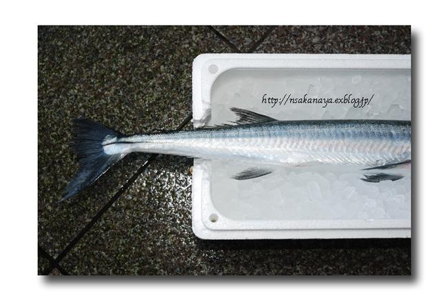 オキザヨリ/沖細魚:沖針魚 ............. ダツの仲間っす!_d0069838_1246484.jpg