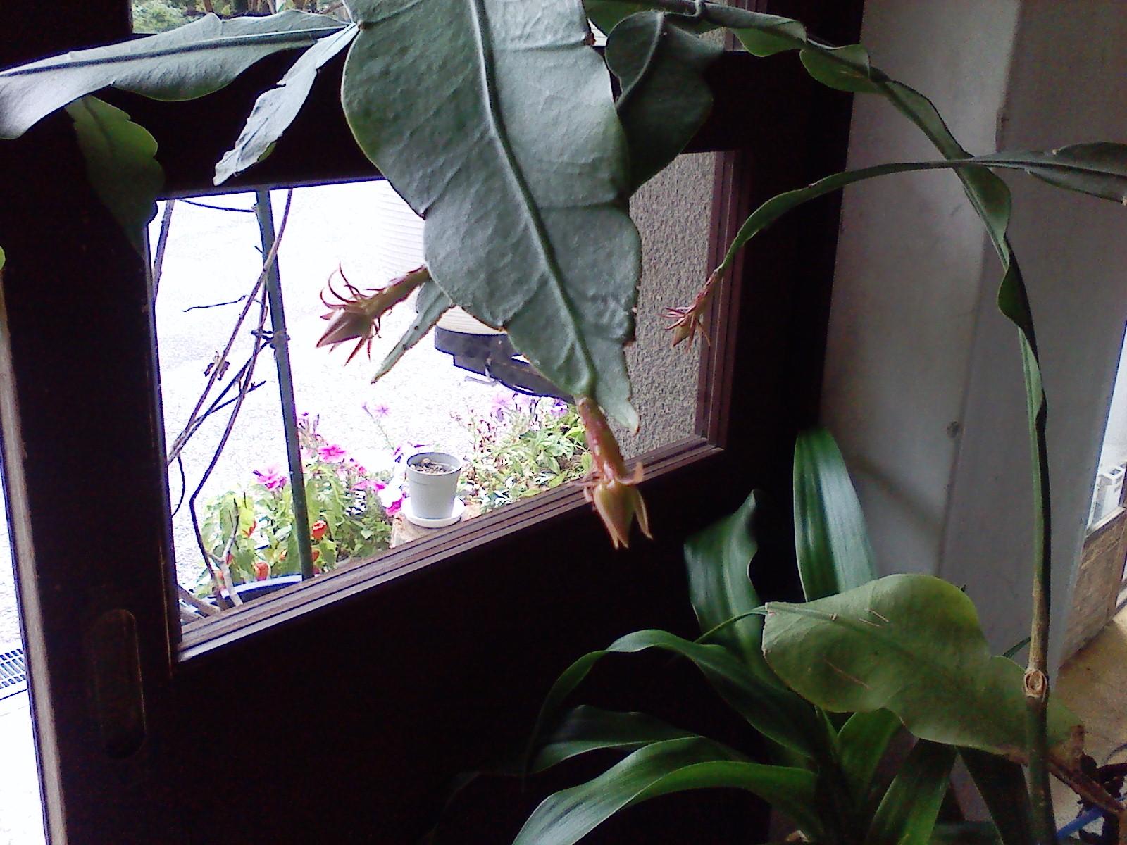 月下美人の花の蕾_f0219043_131516100.jpg
