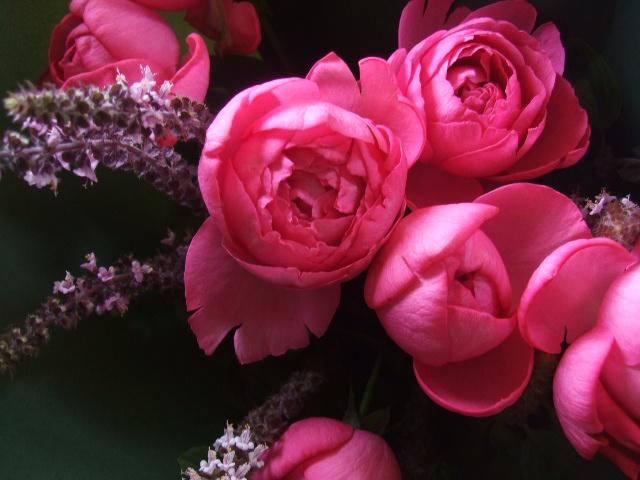 オークリーフ(ローズピンクのバラ)_f0049672_1443868.jpg