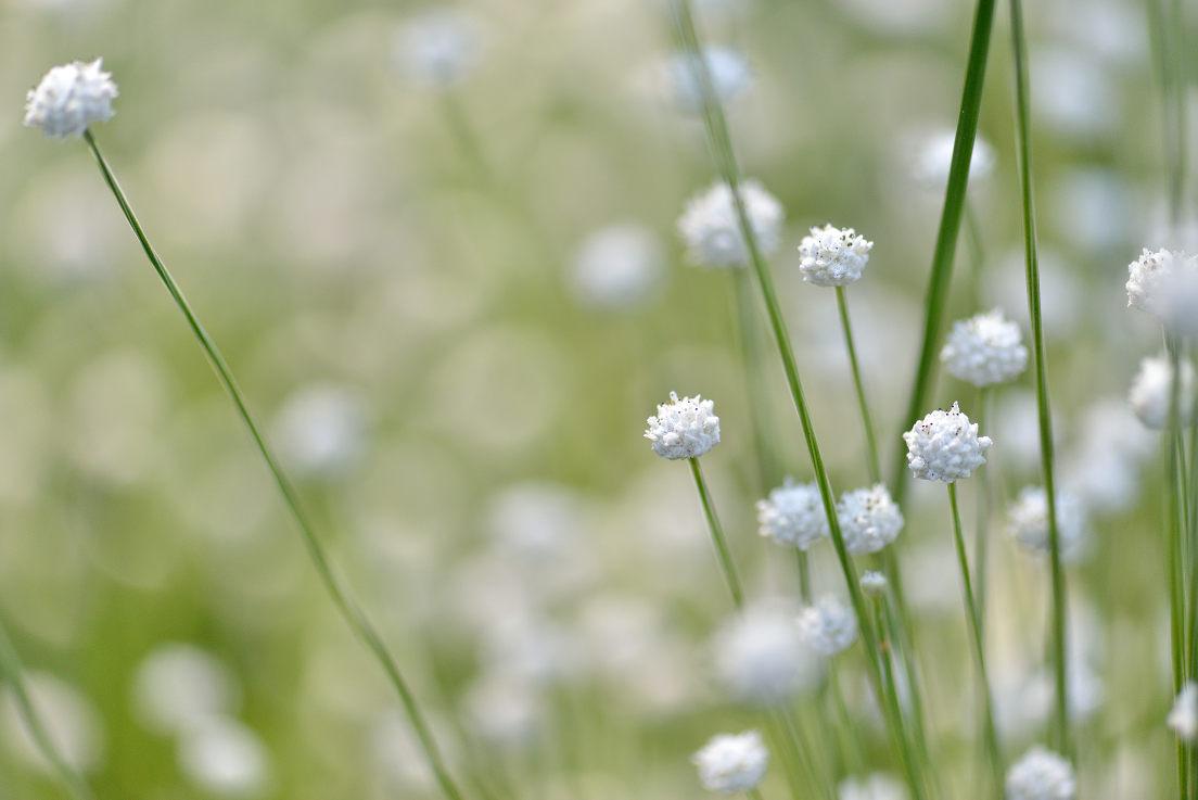 大高緑地公園のシラタマホシクサ_e0170058_1934441.jpg