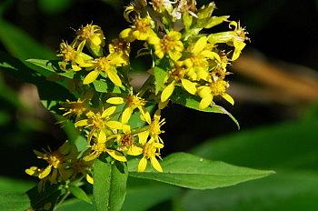 黒斑山で出会った花と果実_e0292469_16324145.jpg