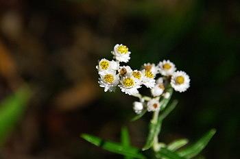 黒斑山で出会った花と果実_e0292469_1633147.jpg