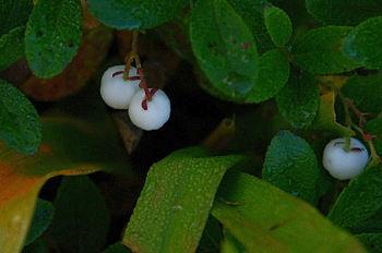 黒斑山で出会った花と果実_e0292469_16345668.jpg