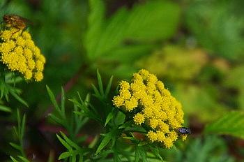 黒斑山で出会った花と果実_e0292469_1639119.jpg