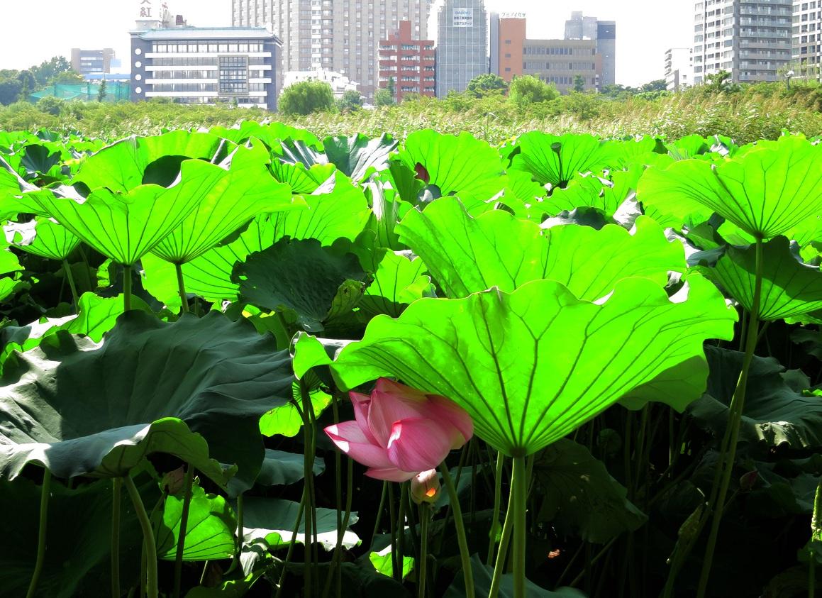 ハスの日傘  ~上野・不忍池~_a0107574_9304334.jpg