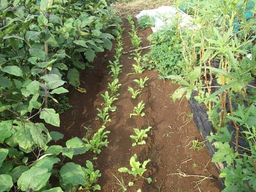 秋冬野菜の種まきで繁忙...._b0137932_16464590.jpg