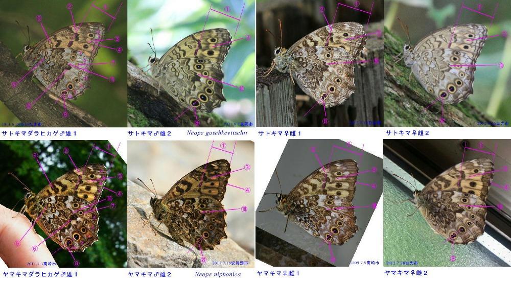 類似☆ サトキマダラヒカゲ×ヤマキマダラヒカゲ 翅裏雌雄比較図Ⅲ_a0146869_16102674.jpg