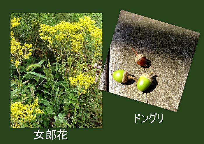 女郎花_d0147812_1618567.jpg