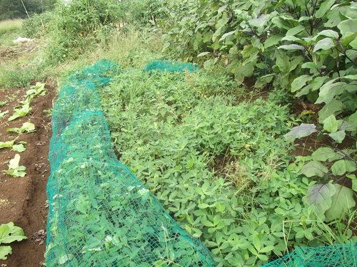 落花生の収穫...早すぎました。_b0137932_11531459.jpg