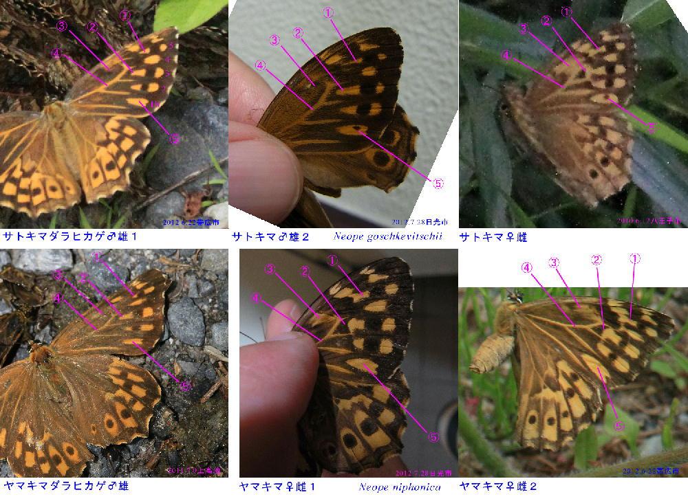 類似☆表 サトキマダラヒカゲ×ヤマキマダラヒカゲ 翅表雌雄比較図_a0146869_197385.jpg