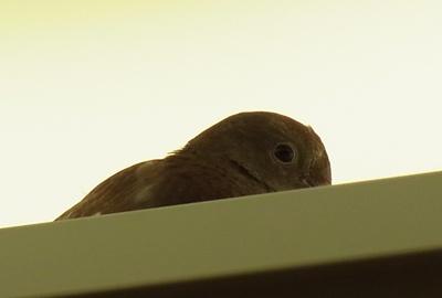エレベーター内の鳥2