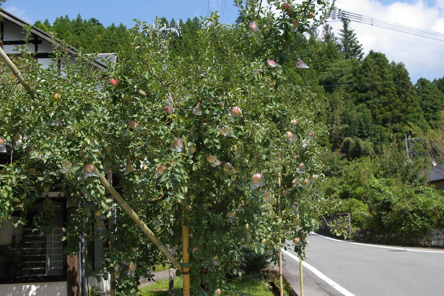 りんごの木_e0146469_18513495.jpg