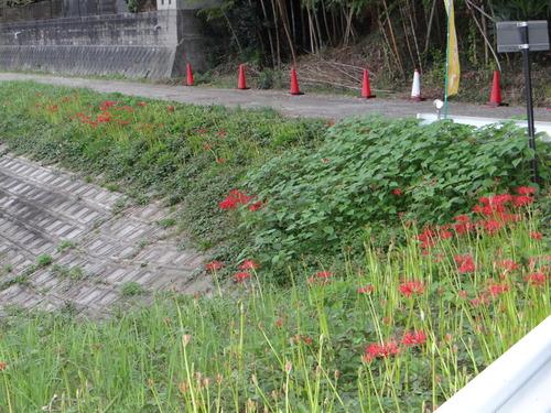矢勝川の彼岸花の状況と家の庭_d0254540_20303081.jpg