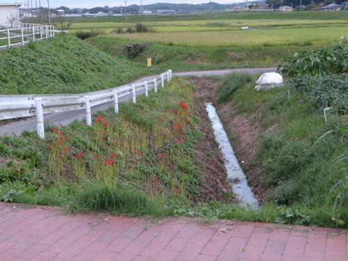 矢勝川の彼岸花の状況と家の庭_d0254540_2030332.jpg