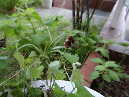 矢勝川の彼岸花の状況と家の庭_d0254540_2034443.jpg