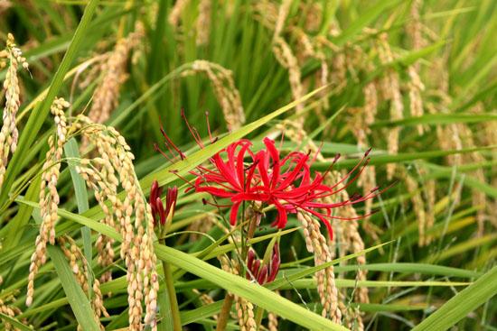 嵯峨野 収穫の盛り_e0048413_20514910.jpg