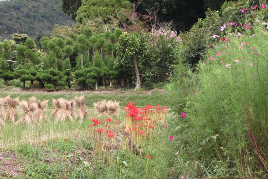 嵯峨野 収穫の盛り_e0048413_2052057.jpg