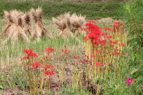 嵯峨野 収穫の盛り_e0048413_20521158.jpg