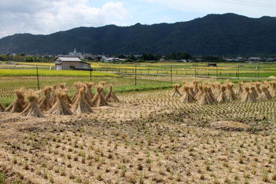 嵯峨野 収穫の盛り_e0048413_20523582.jpg