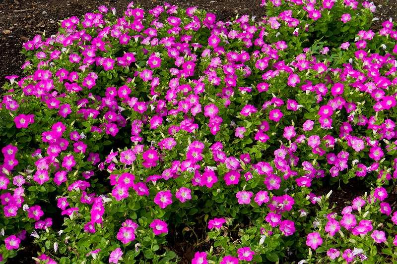 昭和記念公園のコスモス_f0044056_21272836.jpg