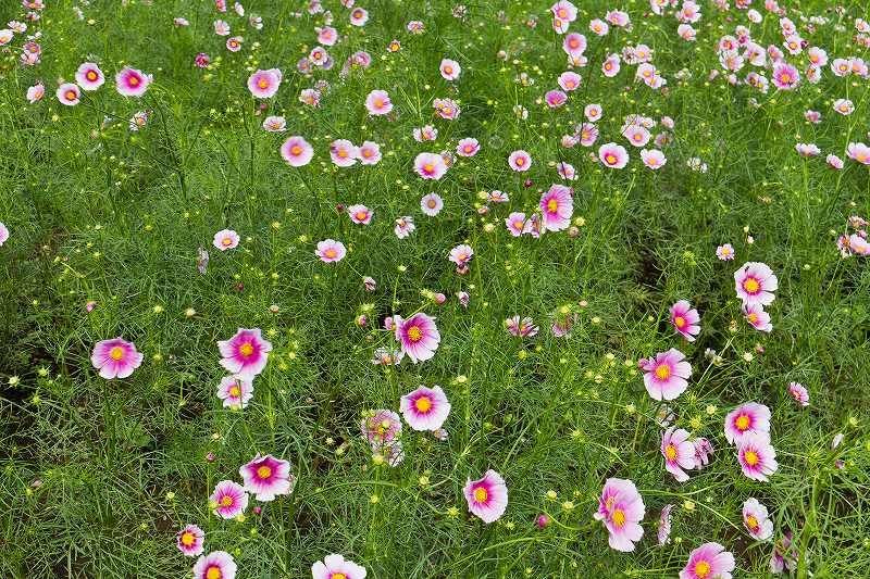 昭和記念公園のコスモス_f0044056_21313250.jpg