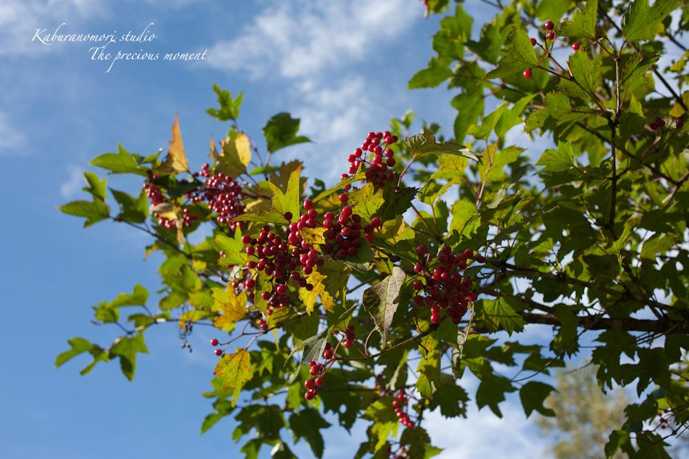 初秋の原村白樺林と秋の空_c0137403_18501185.jpg
