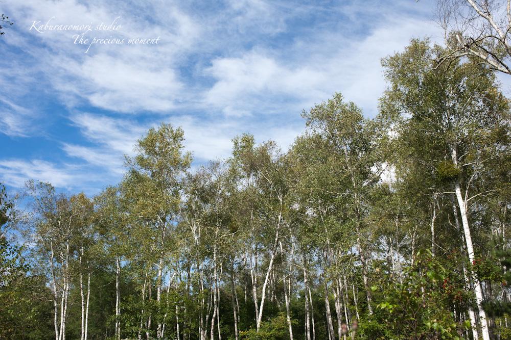 初秋の原村白樺林と秋の空_c0137403_1850459.jpg