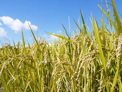 菊池水源棚田米 最高の水で育ったお米!まもなく稲刈り!!_a0254656_17341759.jpg