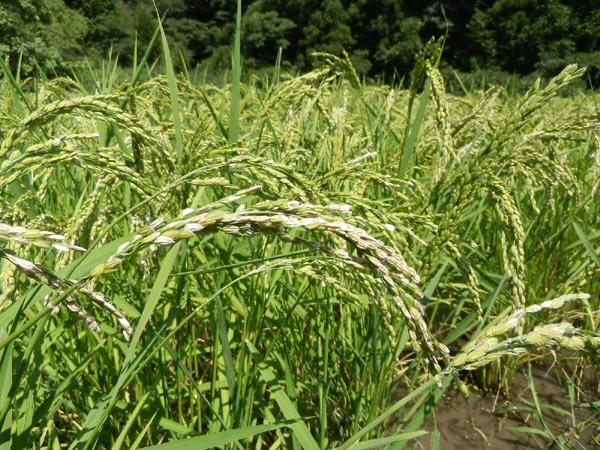 稲に関する質問~緑ヶ丘小5年より~_d0247484_16475117.jpg
