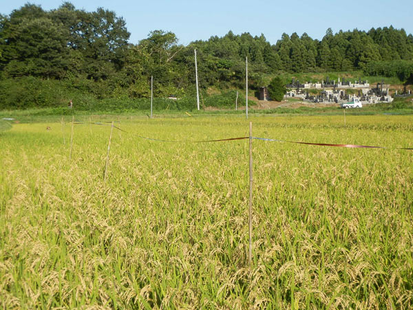 稲に関する質問~緑ヶ丘小5年より~_d0247484_16495720.jpg