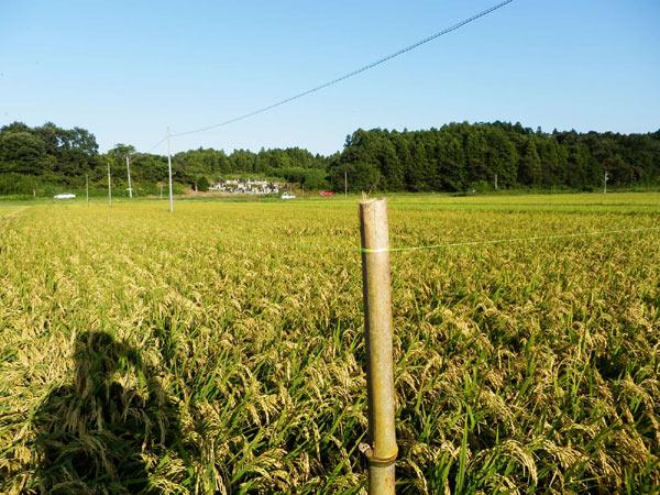 稲に関する質問~緑ヶ丘小5年より~_d0247484_16515765.jpg