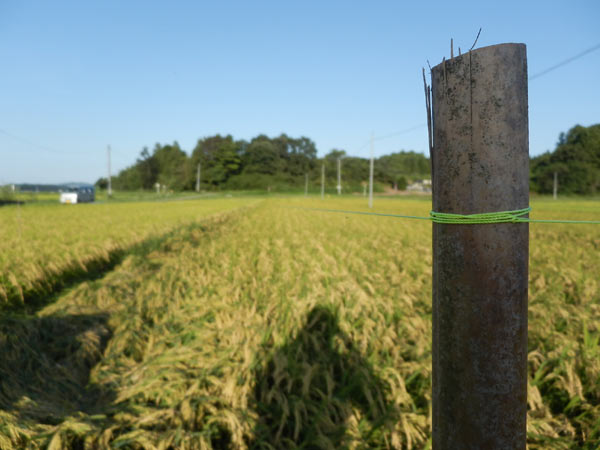 稲に関する質問~緑ヶ丘小5年より~_d0247484_1651695.jpg
