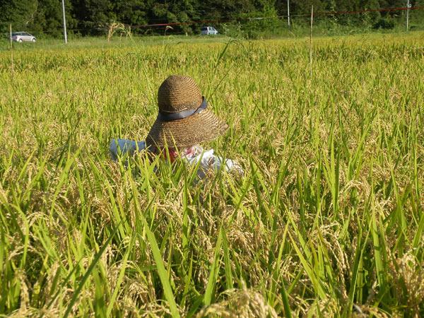 稲に関する質問~緑ヶ丘小5年より~_d0247484_16532985.jpg