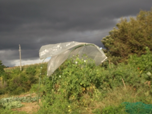 台風対策.....トマトのビニールテントを撤去_b0137932_1564588.jpg