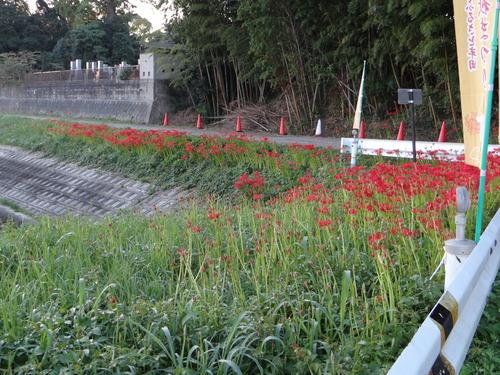 矢勝川の彼岸花の状況と家の庭_d0254540_18452538.jpg
