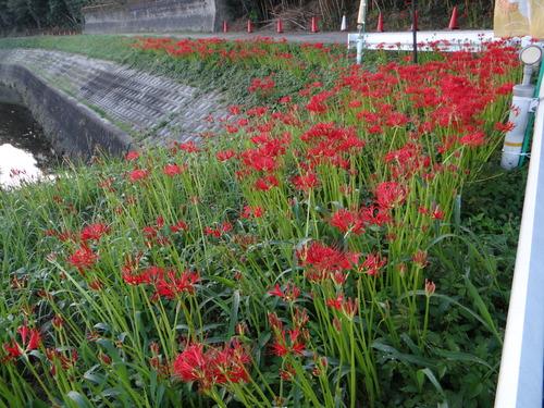 矢勝川の彼岸花の状況と家の庭_d0254540_18455420.jpg