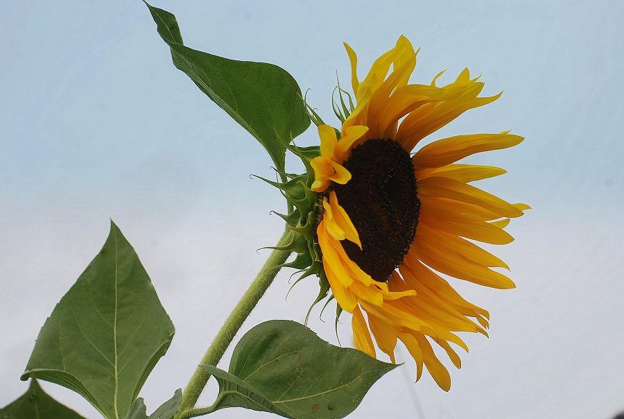 秋の土手の花々_c0187781_23523329.jpg