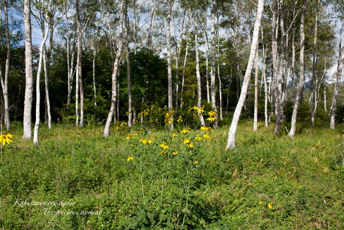 初秋の原村白樺林と秋の空_c0137403_21194171.jpg