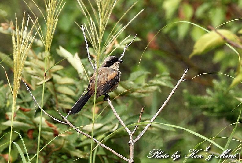 珍鳥 「タカサゴモズ」 初見 ♪初撮り ♪_e0218518_2211642.jpg