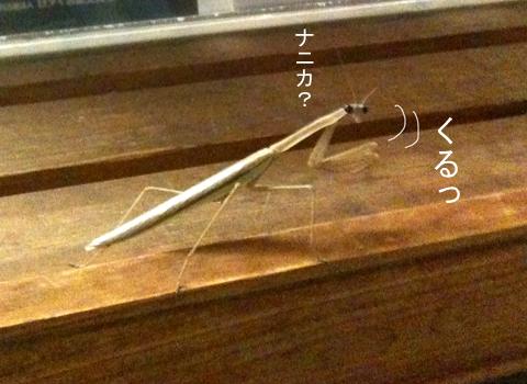 カマキリかま子_d0156336_22123585.jpg