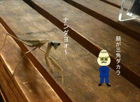 カマキリかま子_d0156336_2216087.jpg